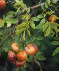 copaiba plante