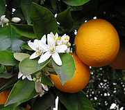 appelsin plante