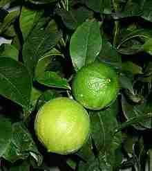 bergamot plante