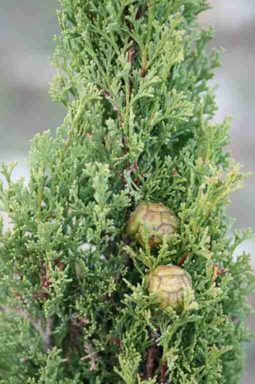 cypress plante