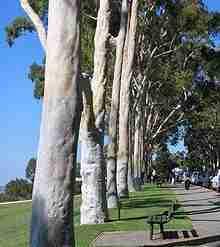 eucalyptus citradoria plante