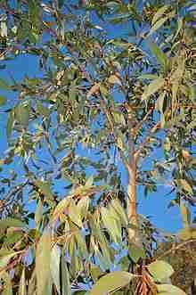 eucalyptus dives plante