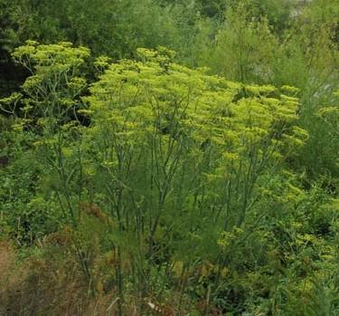 fennikel plante