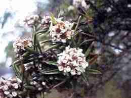 fragonia plante