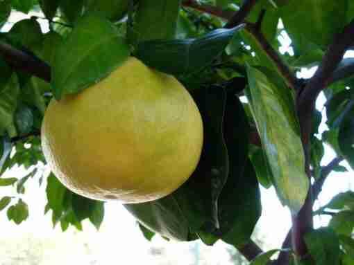 grapefrukt plante