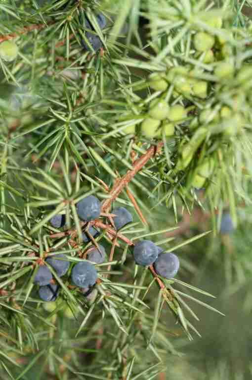 einerbær plante