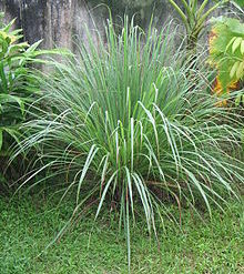 sitrongress plante