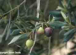 oliven plante