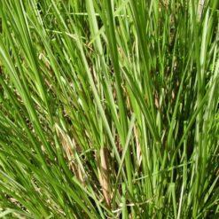 palmarosa plante