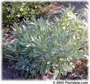 salvie plante