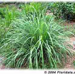 sitronella plante