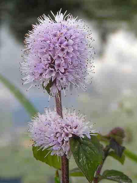 spearmint plante