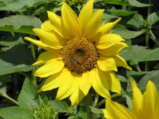 solsikke plante