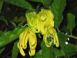 ylang ylang plante