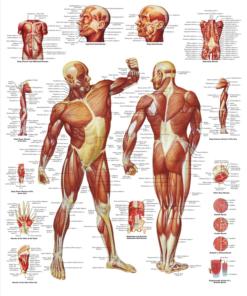 plakat muskler
